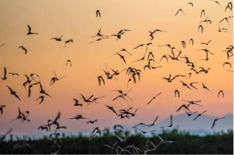 bats-sunset