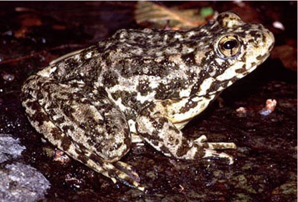 mountain-yellow-legged-frog